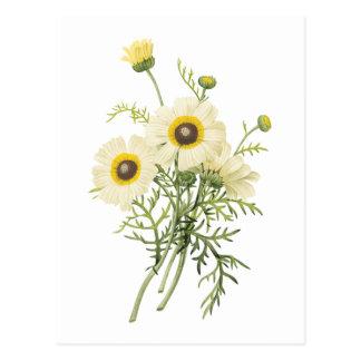 tricolor daisy(Chrysanthemum carinatum) by Redouté Postcard