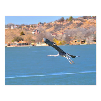 Tricolor Heron Takes Flight Postcard