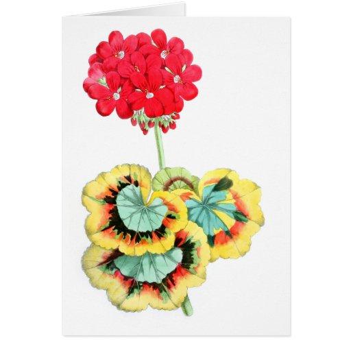 Tricolor-Leaved Pelargonium, Meteor Card