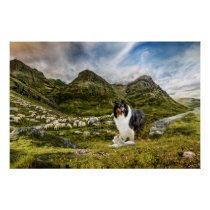 Tricolor Scotch Collie with Lamb herding Sheep - Poster