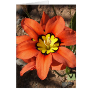 Tricolor Sparaxis flower Card