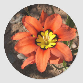 Tricolor Sparaxis flower Classic Round Sticker