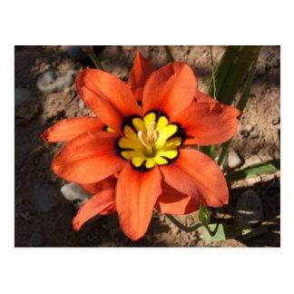 Tricolor Sparaxis flower Postcard