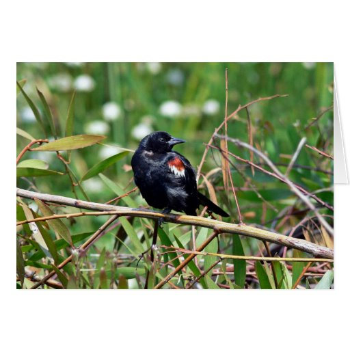 Tricolored blackbird greeting card