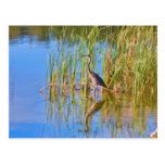 Tricolored Heron at the Lake Postcard