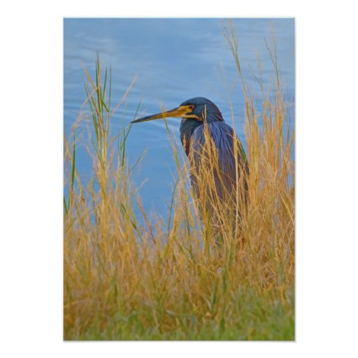 Tricolored Heron at the Lake Poster