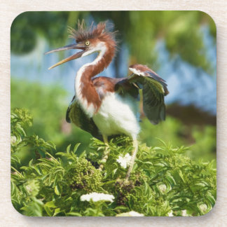 Tricolored Heron Chick in a Tree Coaster