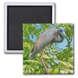 Tricolored Heron in a Tree Magnet