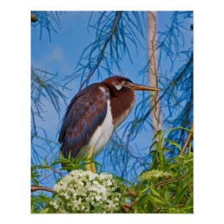 Tricolored Heron in a Tree Poster