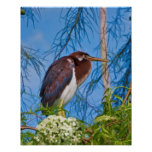 Tricolored Heron in a Tree Posters