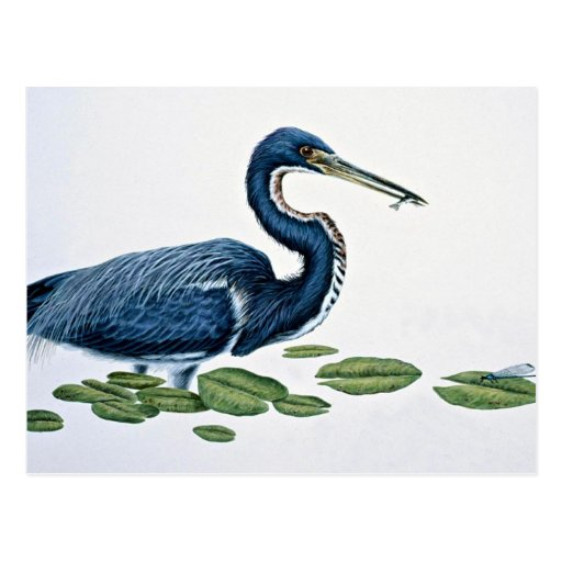 Tricolored heron postcard