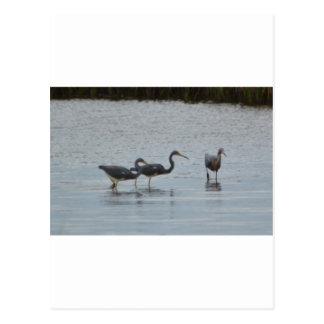 Tricolored Heron Reddish Egret Bird Nature Postcard