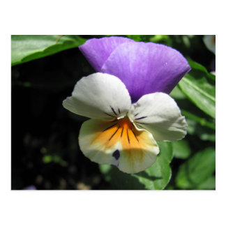 Tricolored Pansy Postcard