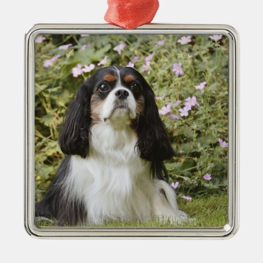 Tricolour Cavalier King Charles Spaniel on grass Metal Ornament