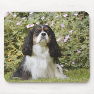 Tricolour Cavalier King Charles Spaniel on grass Mouse Pad