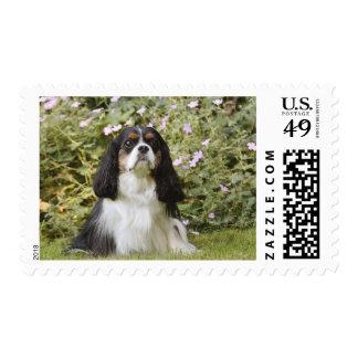 Tricolour Cavalier King Charles Spaniel on grass Postage Stamp