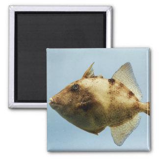 Triggerfish gris imán cuadrado