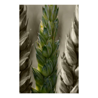 trigo Wheat Poster