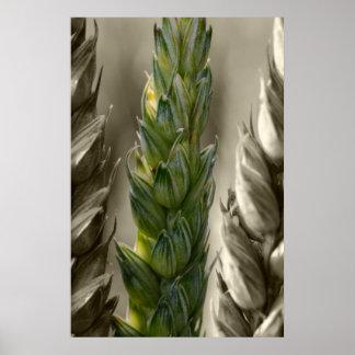 trigo Wheat Póster