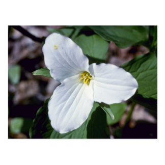 Trillium Grande-Florecido blanco (Trillium Grandif Tarjetas Postales