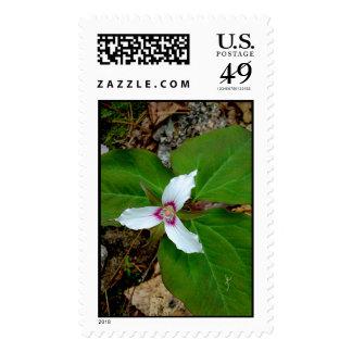 Trillium pintado sellos