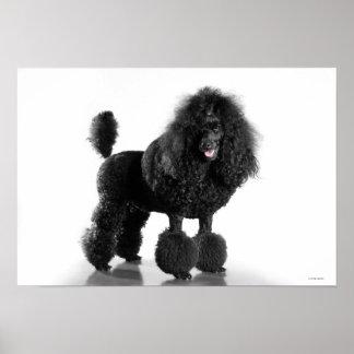 Trimmed black Poodle Poster