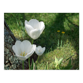 Trío blanco de la flor de los tulipanes postal