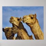 Trío de camellos, mercado del camello, El Cairo, E Posters