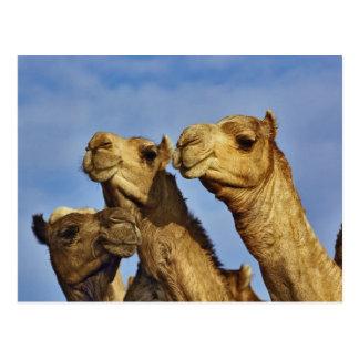 Trío de camellos, mercado del camello, El Cairo, Postal