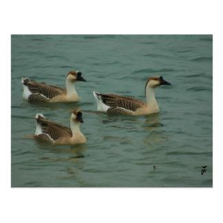 Trío de gansos chinos en el lago Travis Postales