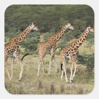 Trío de las jirafas de Rothschild, lago Nakuru Pegatina Cuadrada