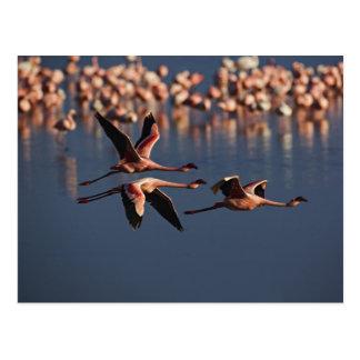Trío de pocos flamencos en vuelo, lago Nakuru Tarjeta Postal