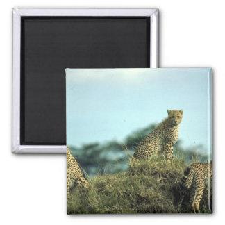 Trío del guepardo skylined en la colina iman de nevera