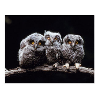 Trío del Owlet Postales
