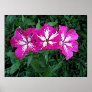 Trío del Phlox de las rosas fuertes Póster