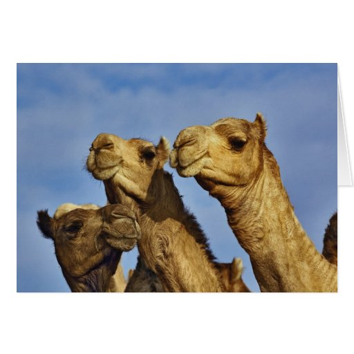 Trio of camels, camel market, Cairo, Egypt Greeting Card