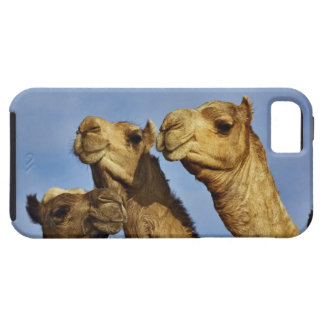 Trio of camels, camel market, Cairo, Egypt iPhone 5 Cover
