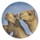Trio of camels, camel market, Cairo, Egypt Dinner Plate
