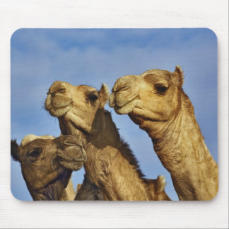 Trio of camels, camel market, Cairo, Egypt Mouse Pad