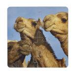 Trio of camels, camel market, Cairo, Egypt Puzzle Coaster
