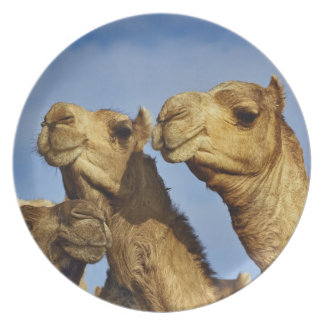 Trio of camels camel market Cairo Egypt Dinner Plates