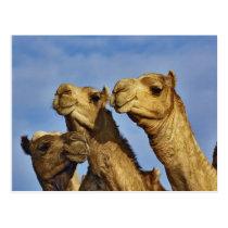 Trio of camels, camel market, Cairo, Egypt Postcard