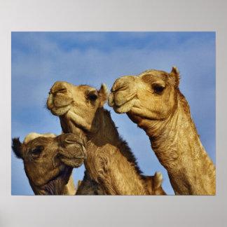 Trio of camels, camel market, Cairo, Egypt Print
