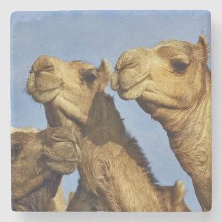 Trio of camels, camel market, Cairo, Egypt Stone Coaster