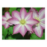 Trio of Clematis Pink and White Spring Flowers Photo Print