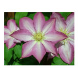 Trio of Clematis Pink and White Spring Flowers Postcard