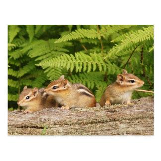 Trio of Curious Baby Chipmunks Postcard