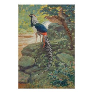 Trio of Lady Amherst's pheasant by waterfall Poster