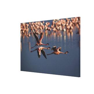 Trio of Lesser Flamingos in flight, Lake Nakuru Canvas Print
