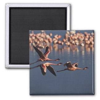 Trio of Lesser Flamingos in flight, Lake Nakuru Magnet